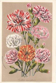 1857年 Van Houtte ヨーロッパの植物 ナデシコ科 カーネーション OEILLETS REMONTANTS