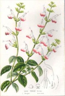 1857年 Van Houtte ヨーロッパの植物 シソ科 サルビア SALVIA TRICOLOR