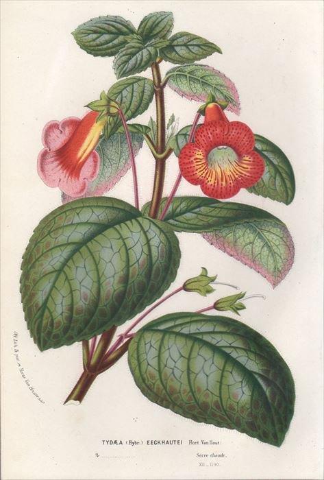1857年 Van Houtte ヨーロッパの植物 イワタバコ科 TYDAEA EECKHAUTEI ...