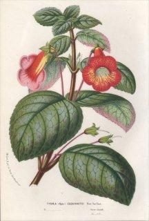 1857年 Van Houtte ヨーロッパの植物 イワタバコ科 TYDAEA EECKHAUTEI