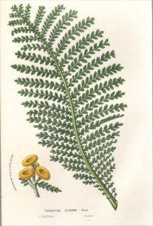 1857年 Van Houtte ヨーロッパの植物 キク科 ヨモギギク属 TANACETUM ELEGANS
