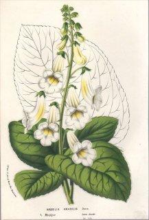 1857年 Van Houtte ヨーロッパの植物 イワタバコ科 スミシアンタ属 NAEGELIA AMABILIS