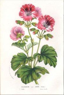 1857年 Van Houtte ヨーロッパの植物 フウロソウ科 テンジクアオイ PELARGONIUM AVENIR