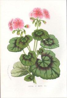 1857年 Van Houtte ヨーロッパの植物 フウロソウ科 ペラルゴニウム COUNTESS OF BECTIVE(PELARGONIUM)