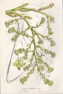 1857年 Van Houtte ヨーロッパの植物 ウコギ科 タラノキの仲間 ARALIA PAPYRIFERA