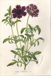 1857年 Van Houtte ヨーロッパの植物 スイカズラ科 マツムシソウ属 セイヨウマツムシソウ SCABIOSA ATROPURPUREA