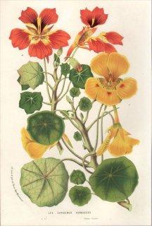 1857年 Van Houtte ヨーロッパの植物 ノウゼンハレン科 キンレンカの仲間 LES CAPUCINES HERBACEES