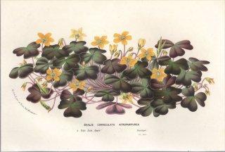 1857年 Van Houtte ヨーロッパの植物 カタバミ科 ウスアカカタバミ OXALIS CORNICULATA ATROPURPUREA