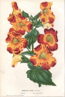1854年 Van Houtte ヨーロッパの植物 ハエドクソウ科 ミゾホオズキ属 ニシキミゾホオズキ MIMULUS LUTEUS