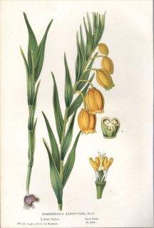 1854年 Van Houtte ヨーロッパの植物 イヌサフラン科 サンダーソニア SANDERSONIA AURANTIACA