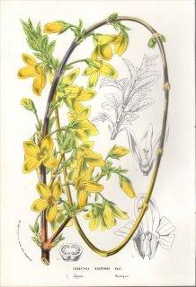 1854年 Van Houtte ヨーロッパの植物 モクセイ科 レンギョウ属 レンギョウ FORSYTHIA SUSPENSA