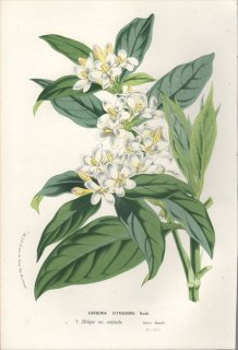 1854年 Van Houtte ヨーロッパの植物 アカネ科 ミトリオスティグマ属 GARDENIA CITRIODORA