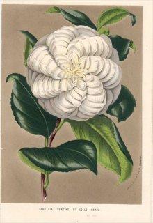 1854年 Van Houtte ヨーロッパの植物 ツバキ科 CAMELLIA VERGINE DI COLLE BEATO