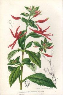 1854年 Van Houtte ヨーロッパの植物 アカバナ科 SEMEIANDRA GRANDIFLORA