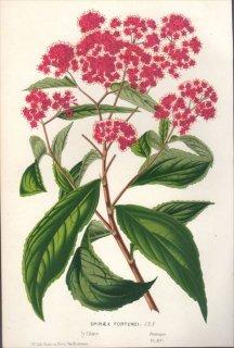 1854年 Van Houtte ヨーロッパの植物 バラ科 シモツケ属 シモツケ SPIRAEA FORTUNEI