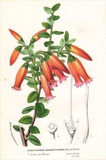 1854年 Van Houtte ヨーロッパの植物 ツツジ科 ケラトステマ CERATOSTEMA GRANDIFLORUM