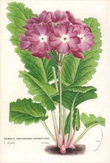 1854年 Van Houtte ヨーロッパの植物 サクラソウ科 プリムラ PRIMULA CORTUSOIDES GRANDIFLORA