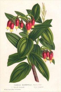 1854年 Van Houtte ヨーロッパの植物 ツツジ科 PSAMMISIA SCLEROPHYLLA