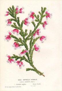 1854年 Van Houtte ヨーロッパの植物 ツツジ科 エリカ ERICA HARTNELLO-HYEMALIS