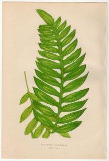 1863年 LOWE シダ植物 ウラボシ科 ポリポディウム POLYPODIUM LONGISSIMUM