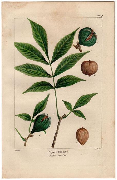 1857年 MICHAUX 北米の樹木 Pl.38 クルミ科 ピグナットヒッコリー ...