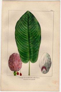 1857年 MICHAUX 北米の樹木 Pl.57 モクレン科 オオバモクレンの仲間 Large leaved Umbrella Tree