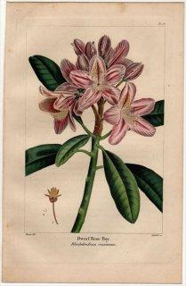 1857年 MICHAUX 北米の樹木 Pl.67 ツツジ科 ツツジ属 セイヨウシャクナゲの仲間 Dwarf Rose Bay
