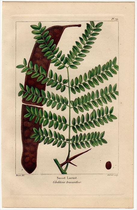 1857年 MICHAUX 北米の樹木 Pl.79 マメ科 アメリカサイカチ Sweet ...