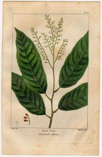 1857年 MICHAUX 北米の樹木 Pl.85 ツツジ科 オキシデンドルム属 スズランノキ Sorel Tree