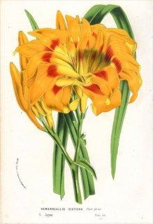 1869年 Van Houtte ヨーロッパの植物 ツルボラン科 ワスレグサ属 ワスレグサ HEMEROCALLIS DISTICHA