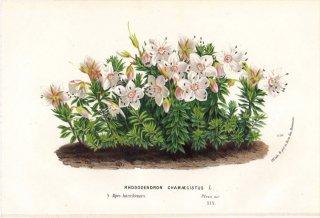 1873年 Van Houtte ヨーロッパの植物 ツツジ科 ツツジ属 RHODODENDRON CHAMAECISTUS