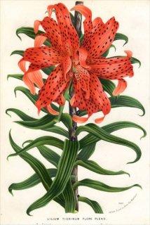 1873年 Van Houtte ヨーロッパの植物 ユリ科 オニユリ LILIUM TIGRINUM FLORE PLENO