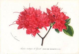 1869年 Van Houtte ヨーロッパの植物 ツツジ科 Azalea Rustique de Gand LOUIS AIME VAN HOUTTE