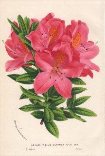1873年 Van Houtte ヨーロッパの植物 ツツジ科 ツツジ属 レンゲツツジ AZALEA MOLLIS GLABRIOR