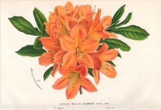 1873年 Van Houtte ヨーロッパの植物 ツツジ科 アザレア AZALEA MOLLIS GLABRIOR
