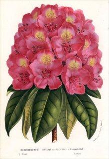 1877年 Van Houtte ヨーロッパの植物 ツツジ科 シャクナゲ RHODODENDRUM SOUVENIR de JEAN BYLS