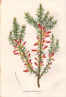 1854年 Van Houtte ヨーロッパの植物 ツツジ科 アストロロマ属 ASTROLOMA SPLENDENS