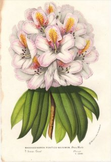 1854年 Van Houtte ヨーロッパの植物 ツツジ科 シャクナゲ RHODODENDRON PONTICO-MAXIMUM