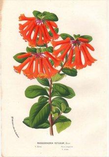 1854年 Van Houtte ヨーロッパの植物 ツツジ科 ツツジ属 RHODODENDRON RETUSUM