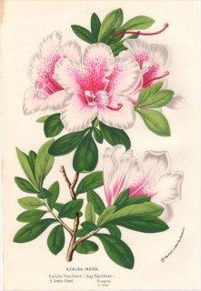 1854年 Van Houtte ヨーロッパの植物 ツツジ科 ツツジ属 AZALEA INDICA