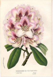 1854年 Van Houtte ヨーロッパの植物 ツツジ科 シャクナゲ RHODODENDRON