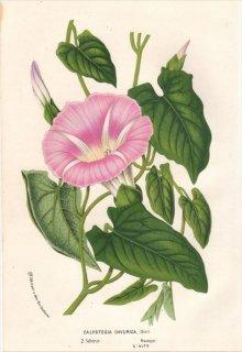 1854年 Van Houtte ヨーロッパの植物 ヒルガオ科 ヒルガオ属 CALYSTEGIA DAVURICA