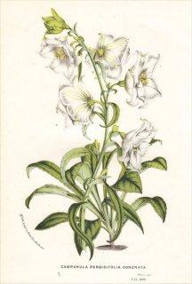 1850年 Van Houtte ヨーロッパの植物 キキョウ科 ホタルブクロ属 CAMPANULA PERSICIFOLIA CORONATA