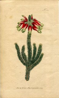 1796年 Curtis Botanical Magazine No.356 ツツジ科 エリカ属 ERICA MASSONI