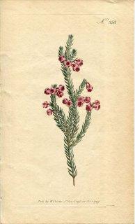1797年 Curtis Botanical Magazine No.358 ツツジ科 エリカ属 ERICA BACCANS