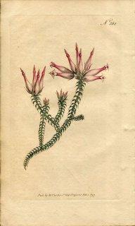 1797年 Curtis Botanical Magazine No.362 ツツジ科 エリカ属 ERICA RETORTA