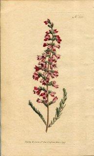 1797年 Curtis Botanical Magazine No.366 ツツジ科 エリカ属 ERICA PYRAMIDALIS