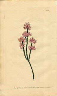 1798年 Curtis Botanical Magazine No.423 ツツジ科 エリカ属 ERICA ARTICULARIS