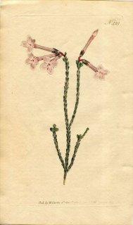 1798年 Curtis Botanical Magazine No.429 ツツジ科 エリカ属 ERICA AITONIA