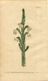 1799年 Curtis Botanical Magazine No.443 ツツジ科 エリカ属 ERICA PHYSODES
